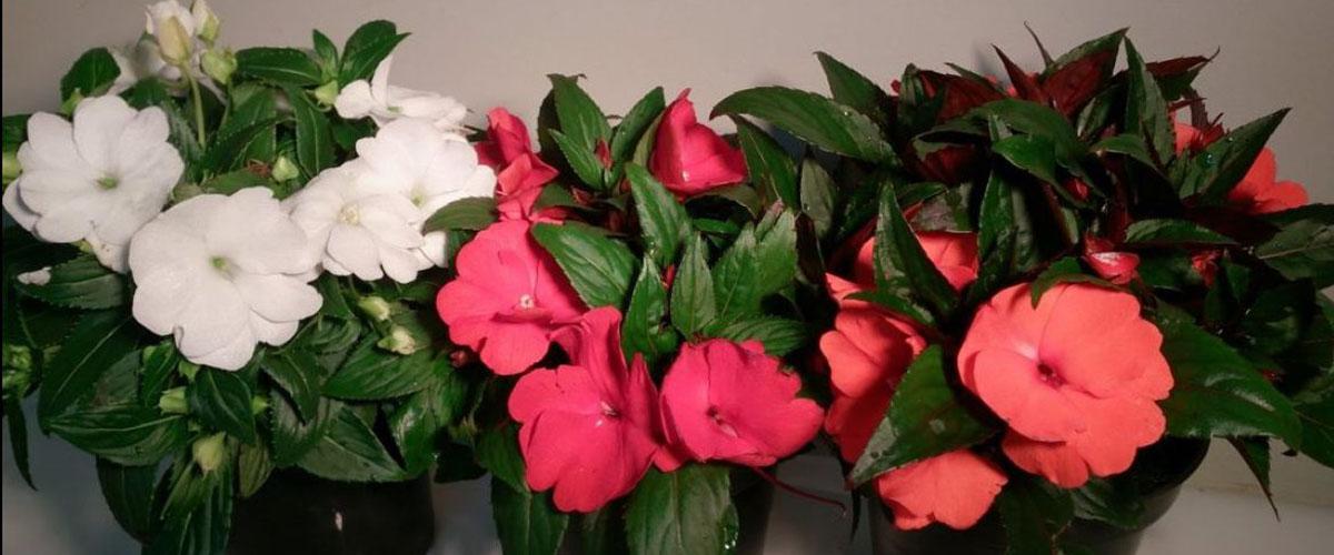Photo of Красавец бальзамин новогвинейский – правильный уход для круглогодичного цветения