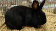 Породы черных кроликов
