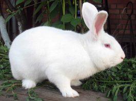 Кролики породы паннон