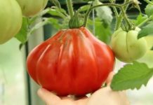 Крупноплодный томат Пузата хата