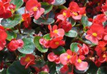 Обрезка бегонии для омоложения и пышного цветения