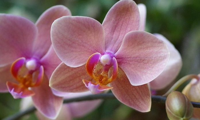 Особенности пересадки орхидеи в домашних условиях