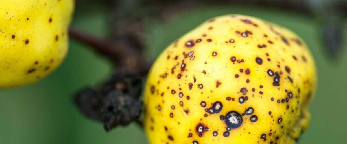 Парша на яблоне: чем лечить черные точки на яблоках
