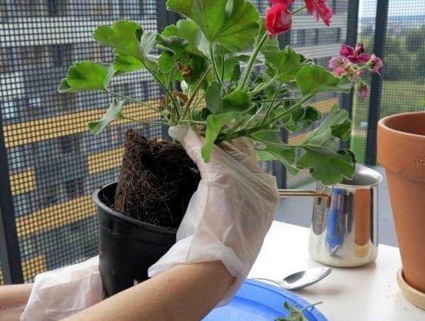 Пересадка цветка после покупки