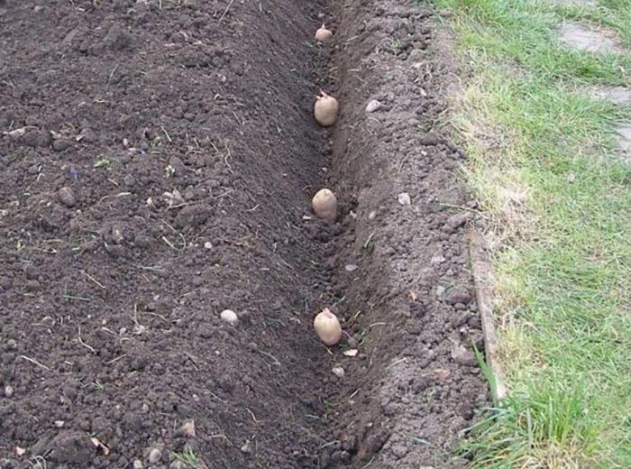 Посадка картофеля Родриго