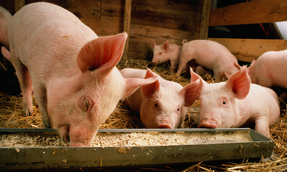 Сколько раз нужно кормить свинью в день