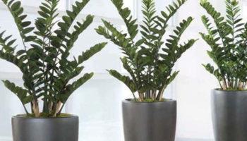 Размножение замиокулькаса в домашних условиях: листом, черенками, делением