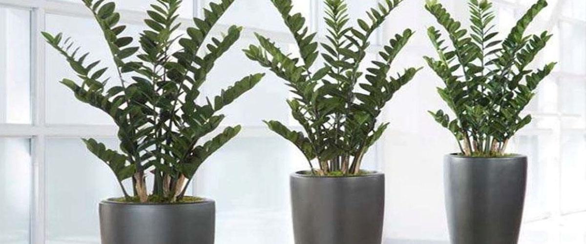 Photo of Размножение замиокулькаса в домашних условиях: листом, черенками, делением