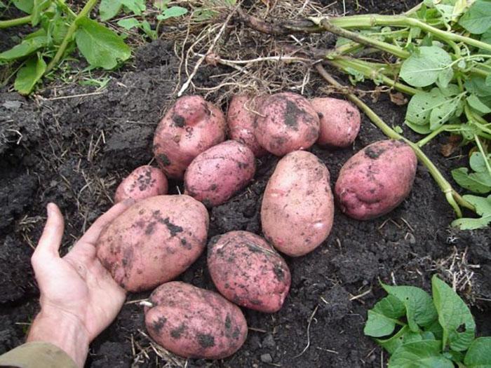 Сбор урожая картофеля Родриго