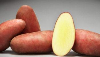 Сорт картофеля Родриго: описание, характеристики, особенности выращивания
