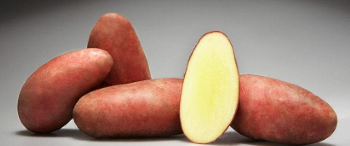 Сорт картофеля Родриго описание характеристики особенности выращивания