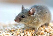 В 2020 году специалисты Россельхозцентра прогнозируют нашествие мышей