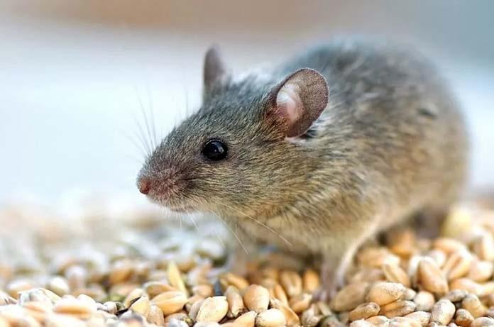Photo of В 2020 году специалисты Россельхозцентра прогнозируют нашествие мышей