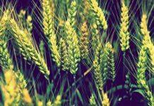 Биопрепараты для защиты озимой пшеницы от болезней мифы и реальность