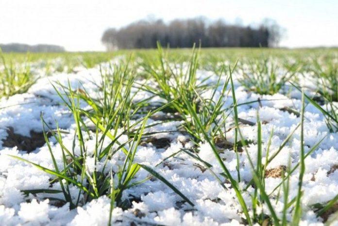 что происходит с озимыми без снега