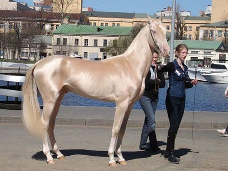 Кремовая ахалтекинская лошадь