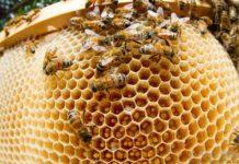 Тайна белоснежной печатки мёда в сотах у северных рас пчёл