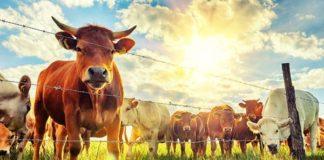 Ученые узнали об умении коров говорить друг с другом