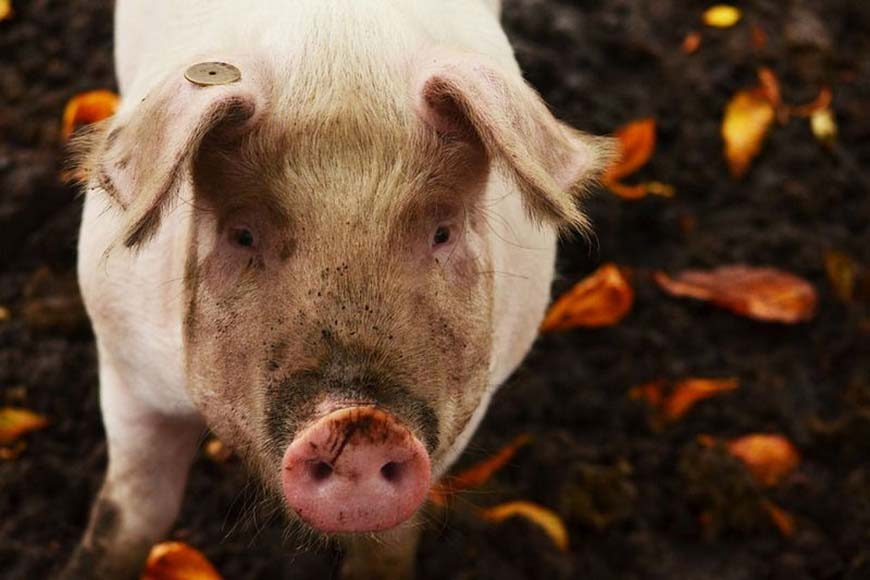 Мираторг пристроит ненужных Курску свиней в соседних Орле и Брянске