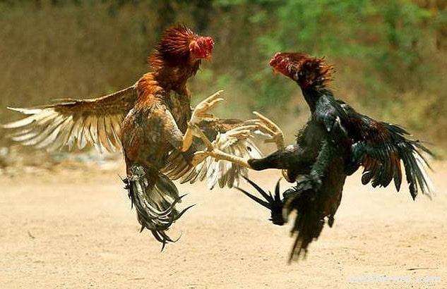 Бойцовые породы кур