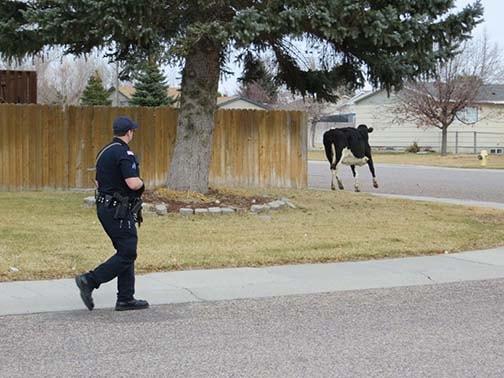 Британские полицейские расследовали кражу коровы с помощью ДНК-теста