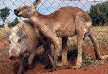 Фермер поймал в ловушку более 140 диких свиней
