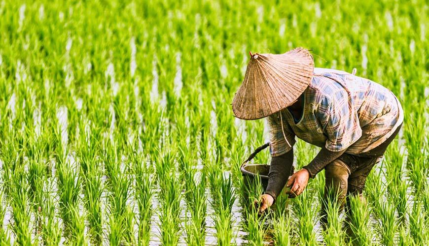 ГМО-сорт золотой рис одобрили для питания но никто не хочет его выращивать