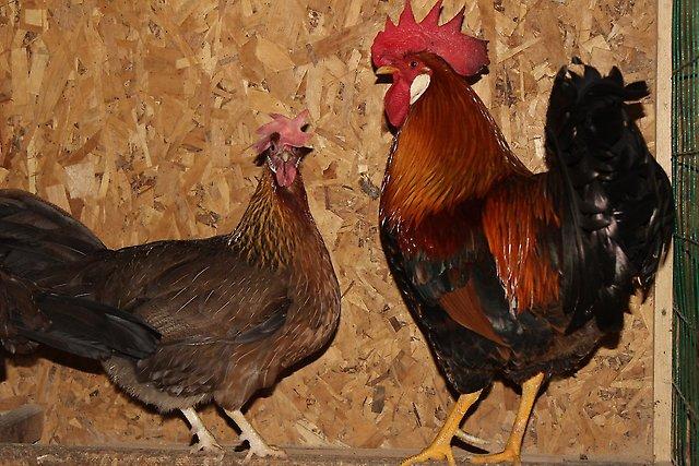Итальянская куропатчатая порода кур