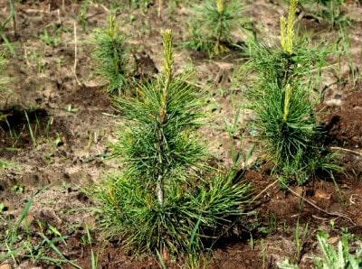 Как посадить и вырастить кедр