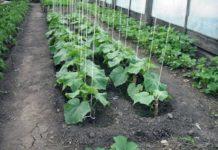 Как посадить и вырастить огурцы в теплице
