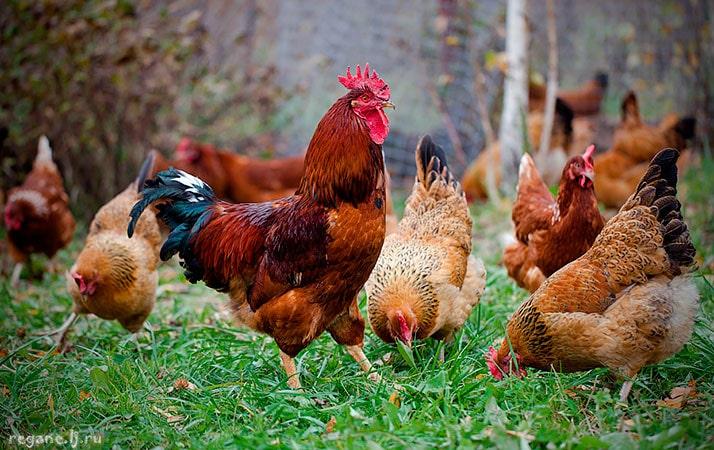 Как размножаются курица и петух