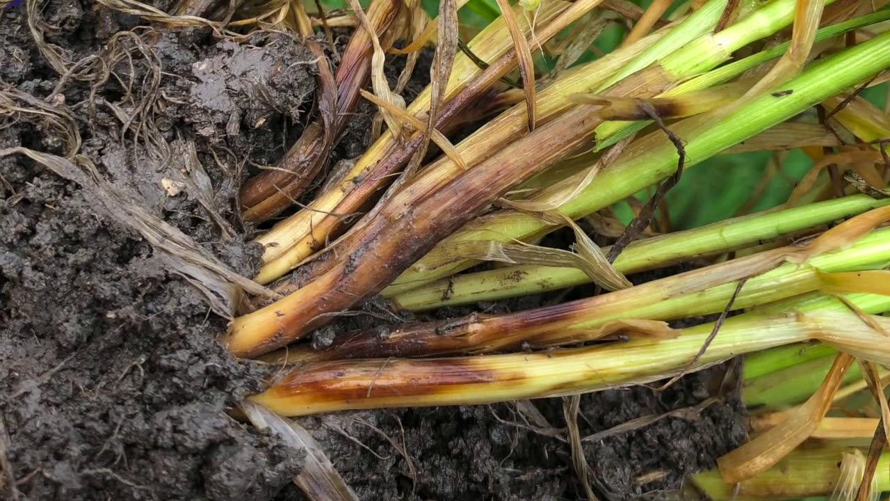 Фузариозная корневая гниль пшеницы фото