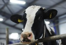 На ферме в Ленинском районе Крыма от голода умерли десятки коров