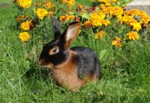 Порода огненный кролик