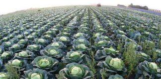 Вредители капусты: чем обработать растение