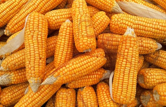 Завод по переработке кукурузы за 12,8 млрд руб запустят в Волгоградской области в апреле - власти