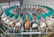 «Русская молочная компания» ввела в эксплуатацию мегаферму на 5200 голов