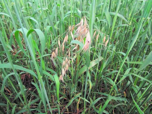 Стратегия выбора гербицидов «Агро Эксперт Груп» для защиты зерновых колосовых культур