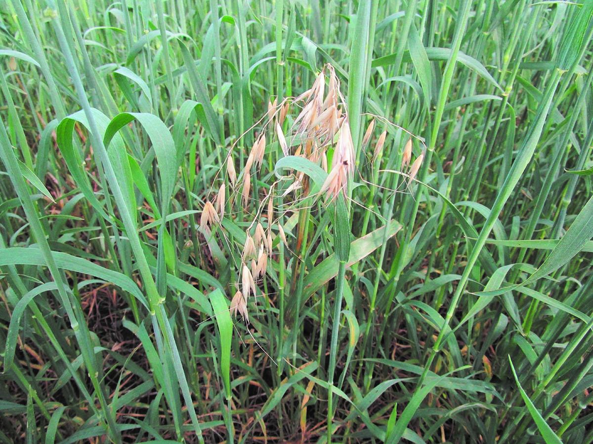 Photo of Стратегия выбора гербицидов «Агро Эксперт Груп» для защиты зерновых колосовых культур