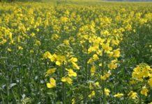 Из-за массовой гибели пчёл в Башкирии сократят площади посевов рапса