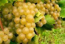 Как освоить формировку винограда? Рекомендации, как для начинающего, так и для опытного виноградаря