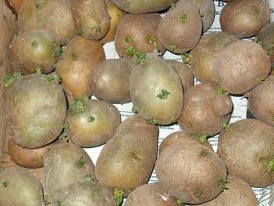 Как посадить и вырастить картофель