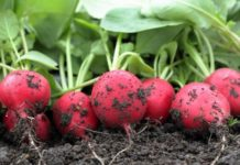 Как посадить и вырастить редис в открытом грунте