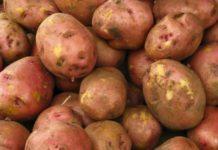 Картофель «Ред Скарлет». Описание и характеристики сорта, урожайность, правила высадки