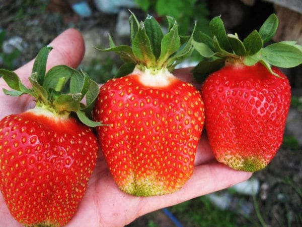 Клубника Азия — сорт с крупными ягодами отменного вкуса