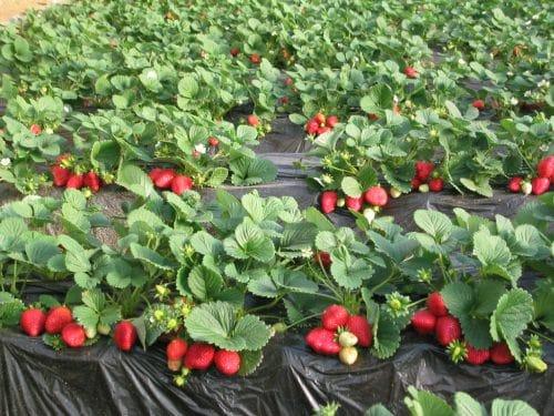 Клубника сорта Альбион — ягоды нейтрального дня