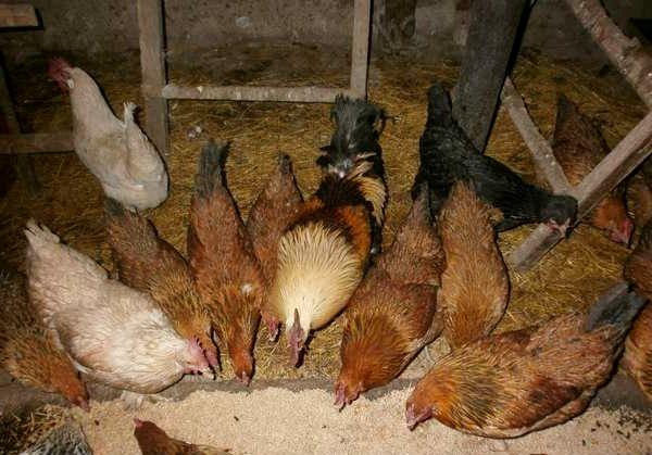 Кормление кур несушек зимой в домашних условиях