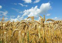 Кубанские селекционеры вывели новый сорт яровой пшеницы с урожайностью более 100 ц/га