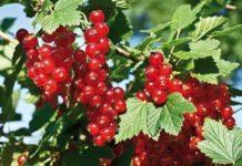 Куст красной смородины: выращивание и уход