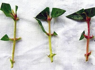 Кустарник жимолость: выращивание в саду